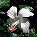 Flower-47(Hibiscus rosa-sinensis cultivars)