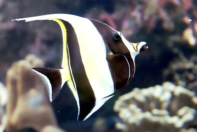 B017 zanclus cornutus moorish idol fish new caledonia for Moorish idol fish