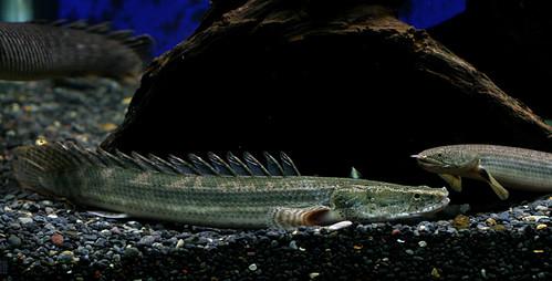 Polypterus lapradei