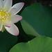 Lotus_Flower_IMGP2443