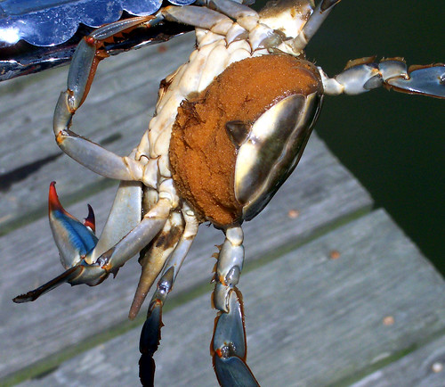Maryland Blue Crab | by the bridge