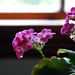 Pink Kalanchoe by the Window