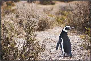 Magellanic Penguin | by James Ng Photography