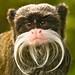 Emperor tamarin monkey (Saguinus imperator) at Marwell Zoo in Hampshire