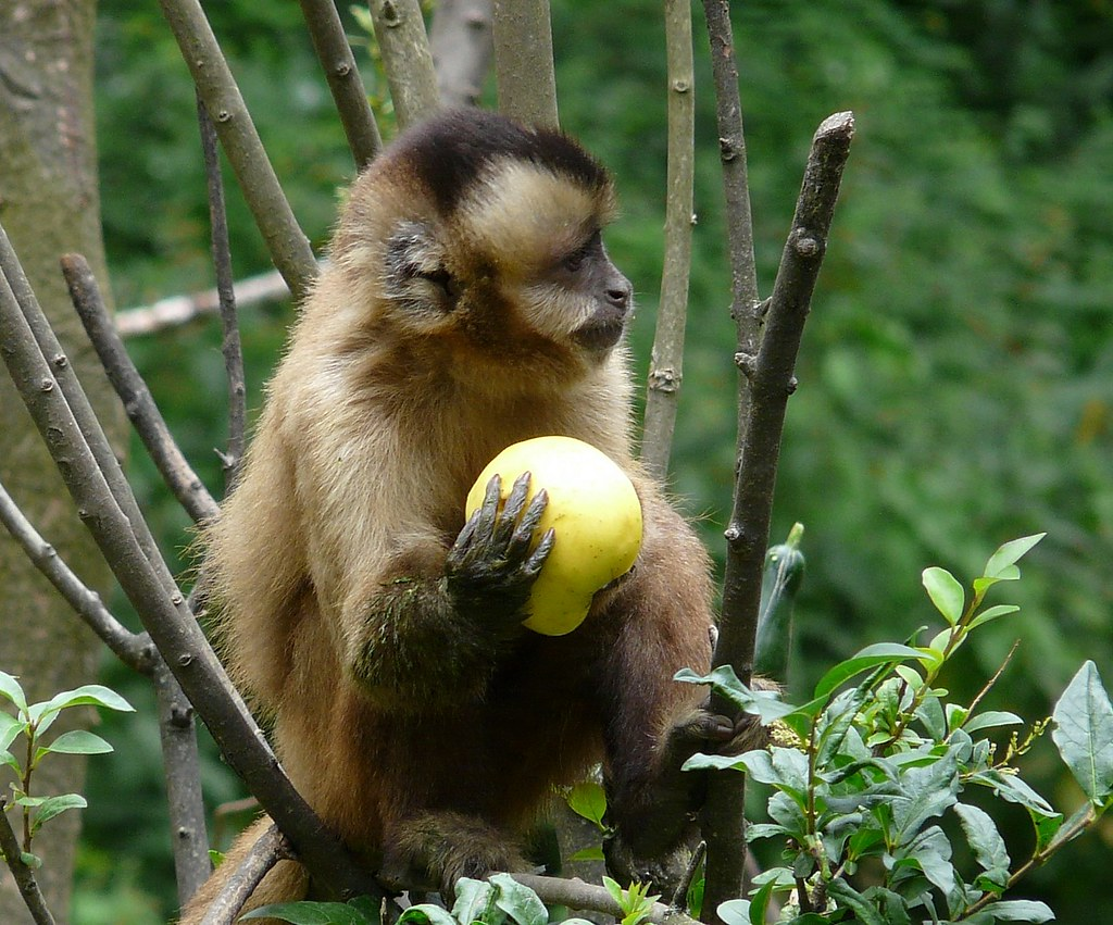 Monkey Fruit Monkey Prefers Apple Aap Met