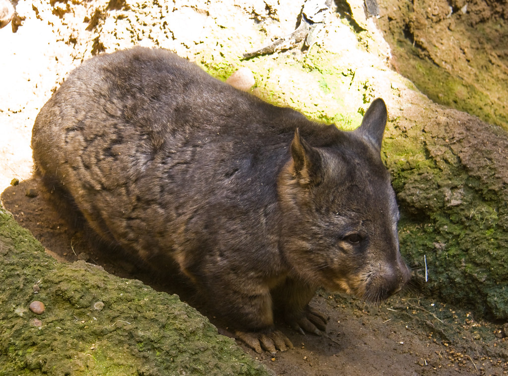 Northern hairy nosed wombat endangered