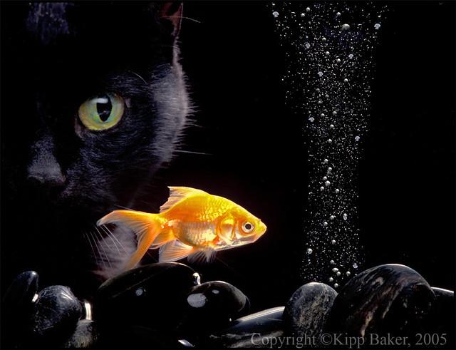 Черный котенок с золотой рыбкой  № 2955042 загрузить