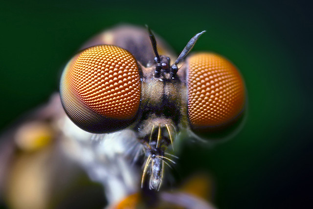 Compound Eyes of a Robber Fly - (Holcocephala fusca) | Flickr Fly Eyes
