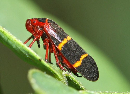 small hopper insect standing on leaf
