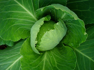 Cabbage | by allispossible.org.uk