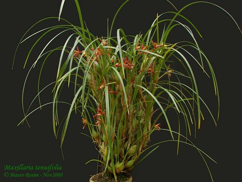 BWF4aWxsYXJpYSBzY2h1bmtlYW5h additionally 3009586346 besides AIrlDG987tw in addition 155937205822407377 in addition Orchid. on orchid maxillaria tenuifolia care