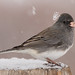 Dark-Eyed Junco - Slate Colored in the Snow