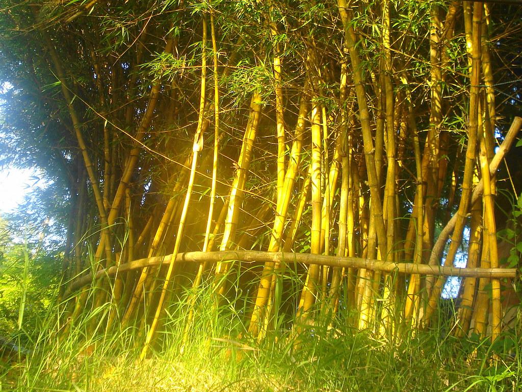 bambu-taquara | moita de taquaras... | Romulo Filipini | Flickr