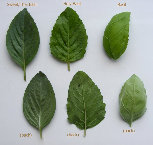 comparing basil leaves there are 4 varieties of basil. Black Bedroom Furniture Sets. Home Design Ideas