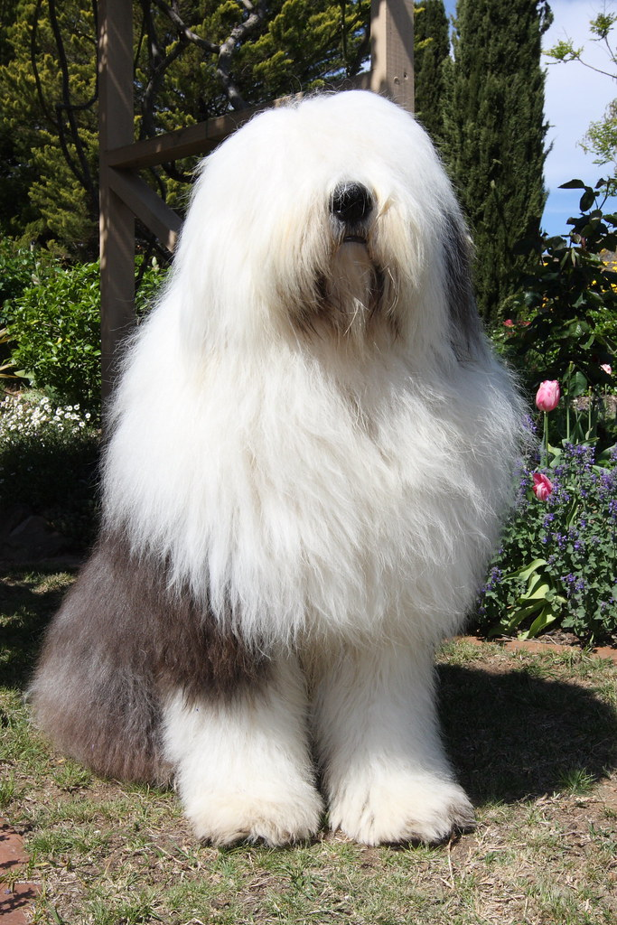 Big Shaggy Dog   Greg Tompos   Flickr