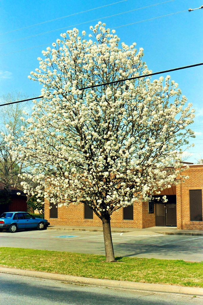 Bradford pear in bloom tree by a small office building Bradford pear