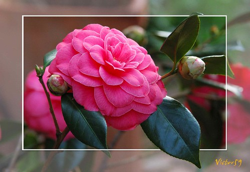 ..Camelia.. | by sirVictor59