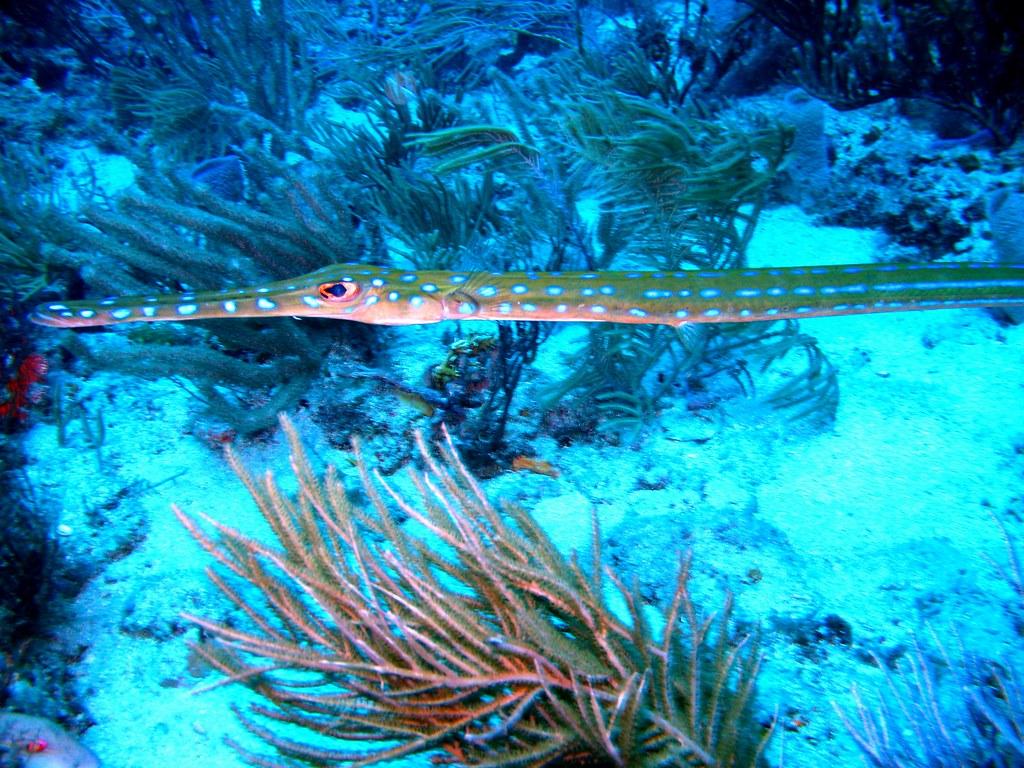 blue spotted cornetfish   Michael Kirby   Flickr