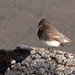 Black Phoebe (Sayornis nigricans), bird in the Morro Creek outflow