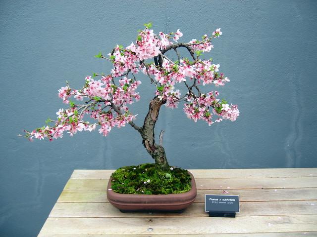 Spring cherry bonsai this is the prunus subhirtella tree for Bonsai ciliegio
