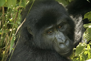 Mountain Gorilla from Nkuringo group - Bwindi Impenetrable Forest, Uganda | by David d'O / Schaapmans