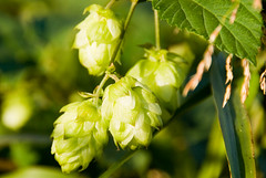 Hops for making beer | by david.nikonvscanon