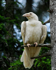 White Raven of Qualicum 8by Mike Yip | by mpt.1607