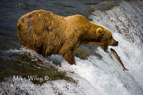 Grizzly bear catching fish flickr photo sharing for Bear catching fish