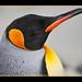 Penguin with crooked beak