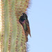 Nesting European Starling  ( Adult )