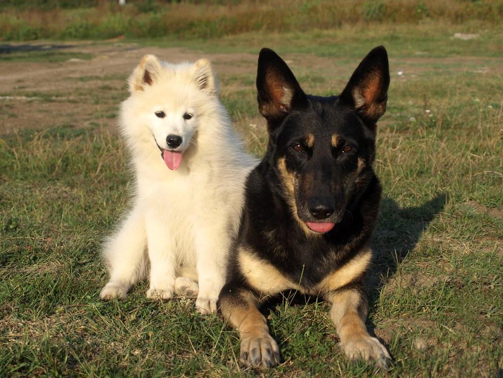 Samoyed Mixed With German Shepherd samoyed and ger...