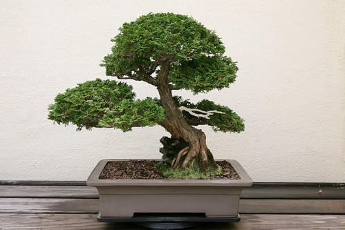 taille d'un bonsai