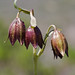 Chocolate Lily (Fritillaria biflora) is a species of plant nativ