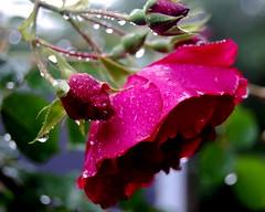 rain on the roses