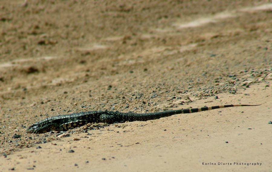 Iguana negra / Black tegu