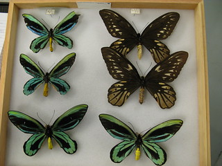 Queen Alexandra Birdwing. Largest butterfly in the World. An endangered species. | by insect safari