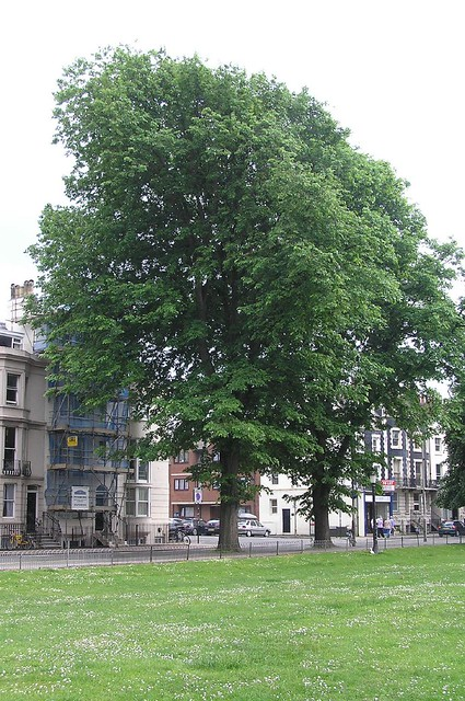 English Elms  Mature Elm Trees Are Very Uncommon In Britain  Flickr-3949