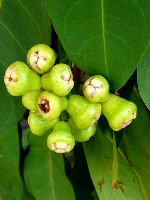 red makopa syzygium samarangense leaves as Abstract: a study under field condition was carried out to evaluate physiological and biochemical properties of three cultivars of wax apple (syzygium samarangense) namely 'jambu madu red', 'masam manis pink' and 'giant green.
