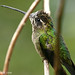 Magnificent Hummingbird - female
