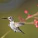 Flowery Anna's Hummingbird