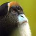 Brazza's monkey