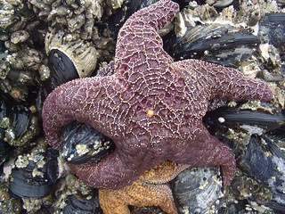 Sea Star on Mussels | by lore