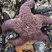 Sea Star on Mussels