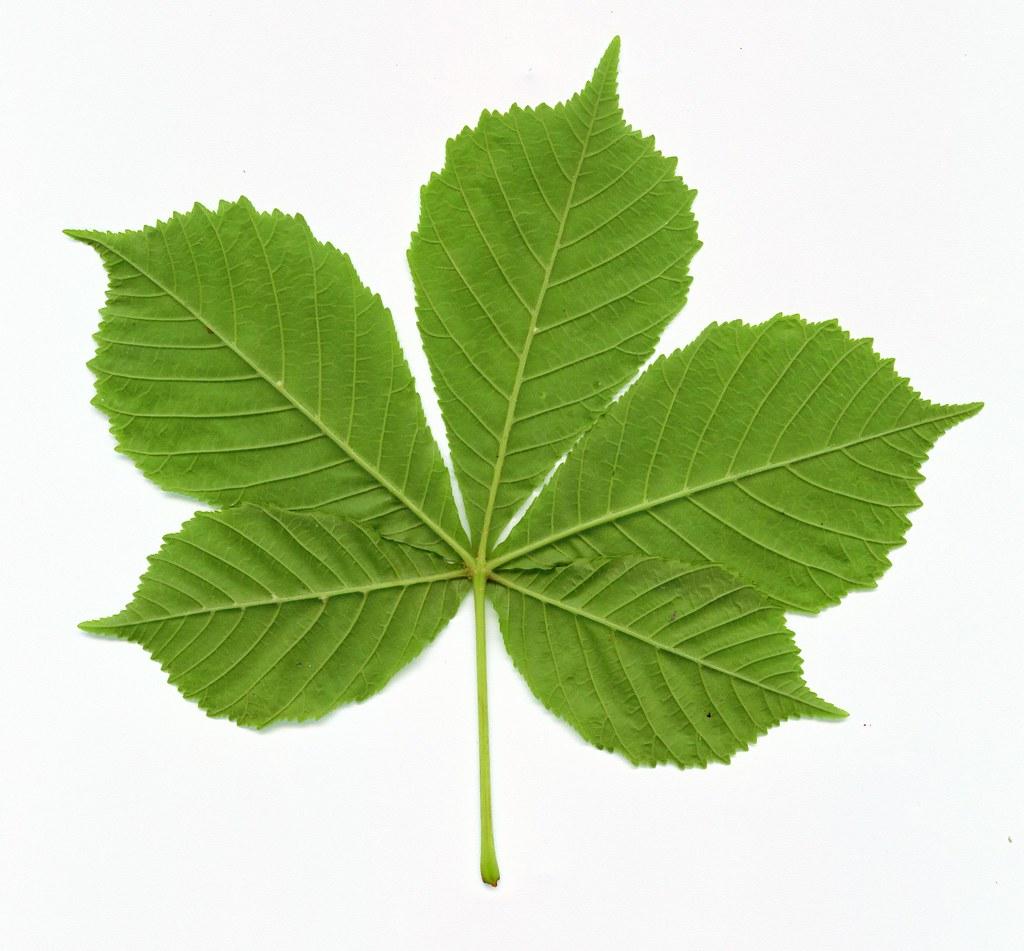 Horse Chestnut Leaf R P M Flickr