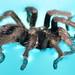 Tarantula found in my pool