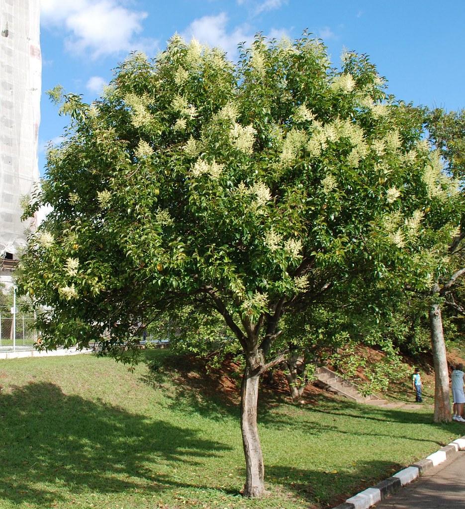 Correction ligustro ligustrum lucidum chinese tree cer for Ligustro siepe