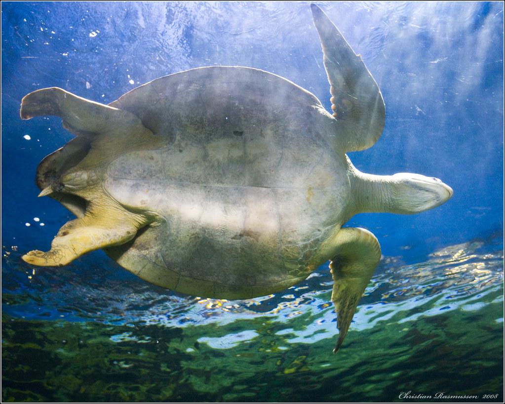 giant sea turtle 0y4o5213 sea turtle swimming above