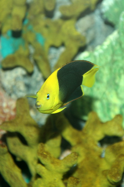 Rock Beauty Angelfish (Holacanthus tricolor) | Cliff | Flickr