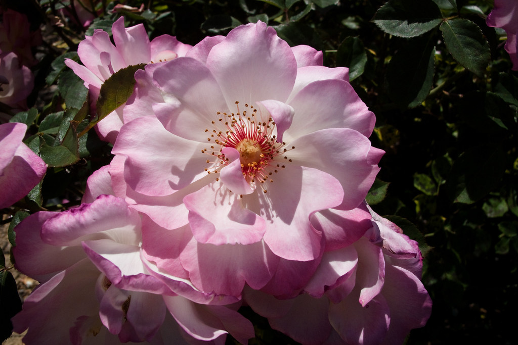 Heritage Rose Garden Taken At The Heritage Rose Garden In Flickr