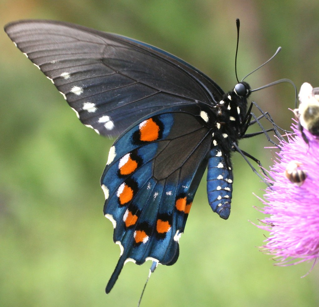 The Pipevine Swallowtail Is One Of